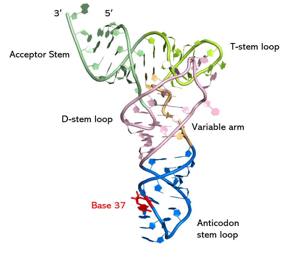 Image: The regions of a full-length unmodified tRNA molecule with an acceptor stem corresponding to phenylalanine looks like. Mark's research will investigate modifications occurring in the Anticodon stem-loop (blue) region.